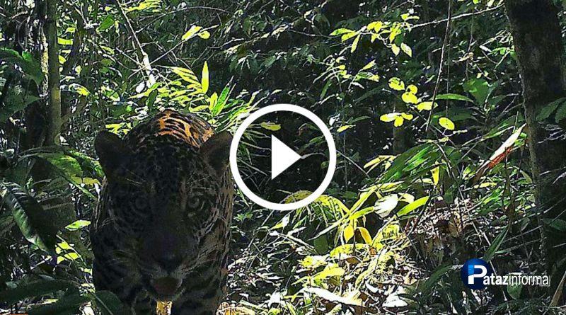 LA LIBERTAD | Imágenes de puma y otorongo en el parque Río Abiseo
