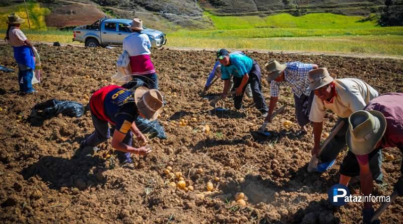 LA LIBERTAD | Compran 100Tn de papa a productores de la sierra