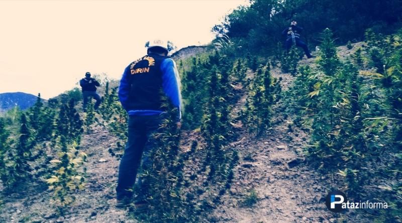 PATAZ | Destruyen más de 12 mil plantones de marihuana en Cochacara