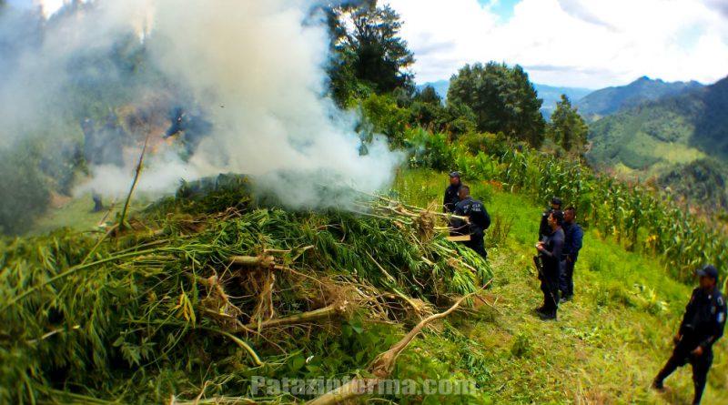 Incineran 12 mil kilos de plantones de marihuana