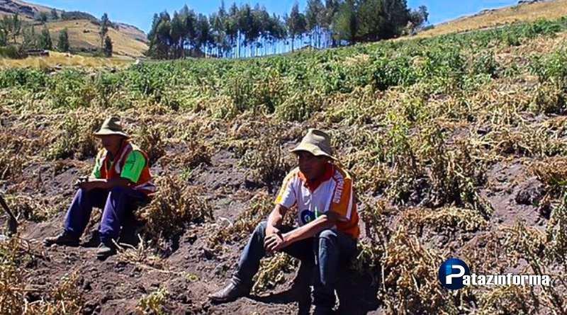 Heladas destruyen más de 300 hectáreas de sembríos de papa en Julcán