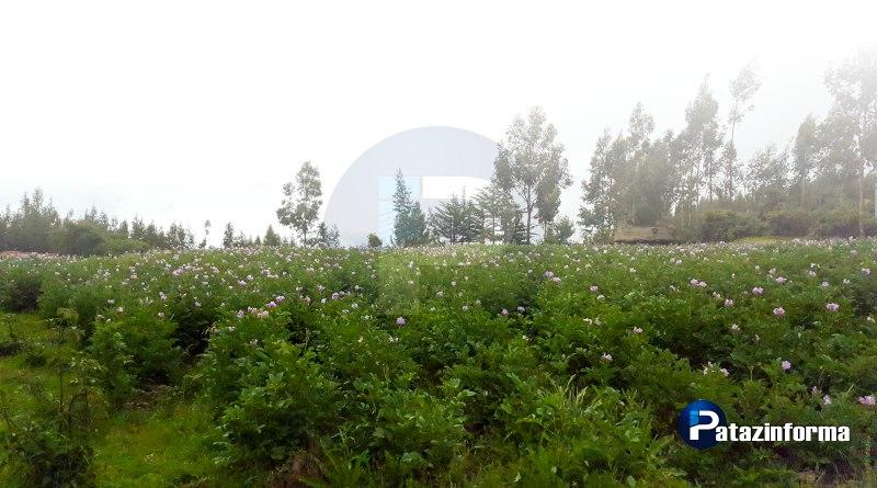 Cultivos empiezan a enverdecer y florecer en los distritos patacinos