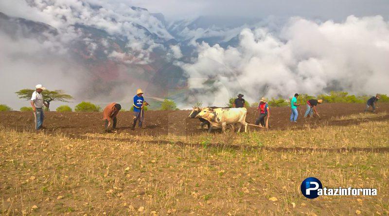 Aprovechando alternancia de clima, continúa cultivo y siembra en Pataz