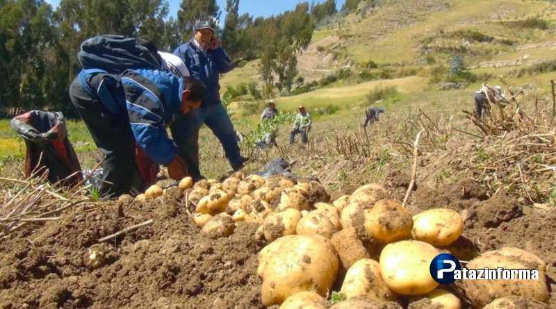 LA LIBERTAD | 400 mil toneladas de papa al año produce nuestra región