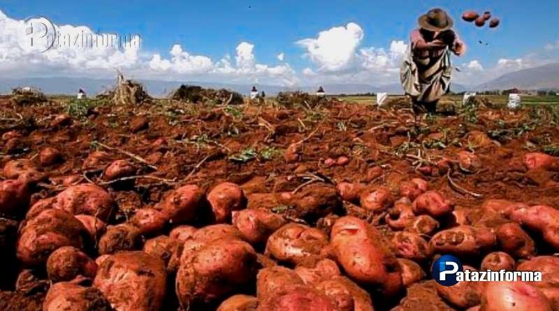 LA LIBERTAD | Desarrollan dos variedades de papa resistentes a plagas