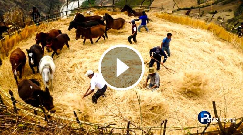 PATAZ | Agosto, mes de trilla en los campos de la sierra de La Libertad