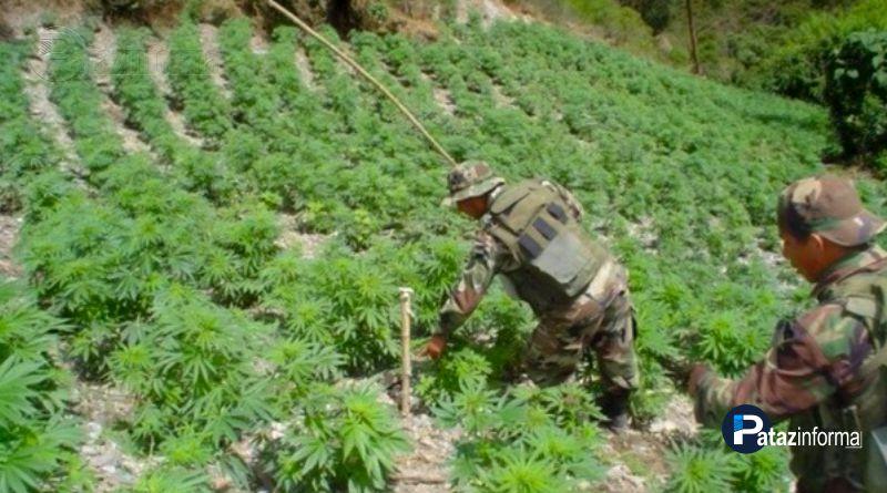 LA LIBERTAD | Provincias del ande cultivan marihuana a gran escala
