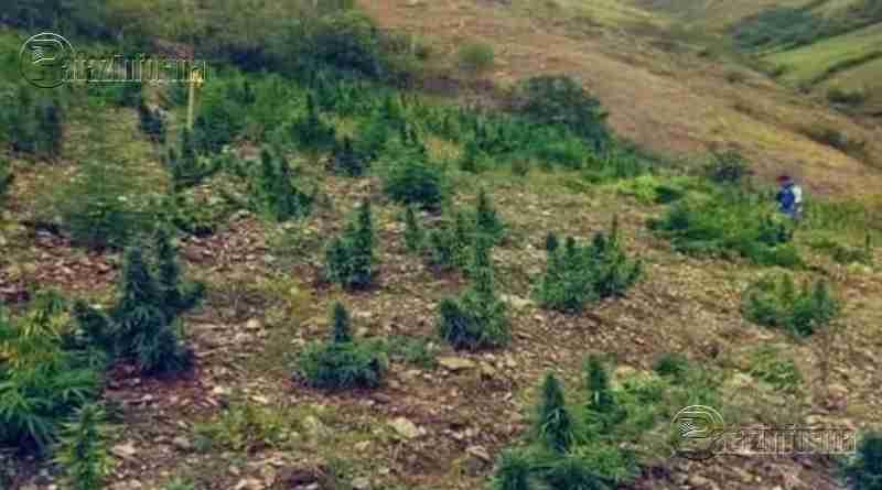 PATAZ | Incineran 150 kilogramos de marihuana en distrito de Huancaspata