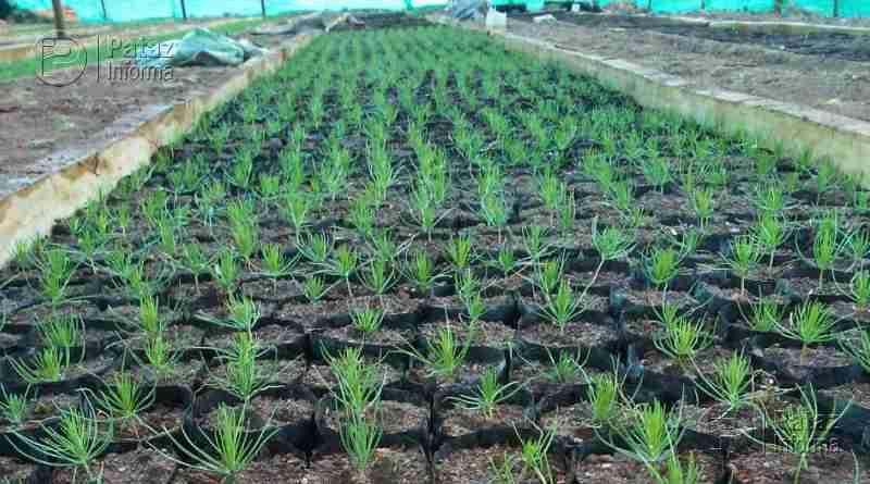 Producen 50 mil plantones de pino en Santiago de Challas